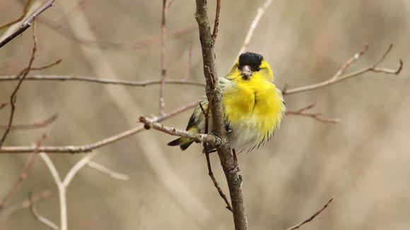 Lintu istuu oksistossa.
