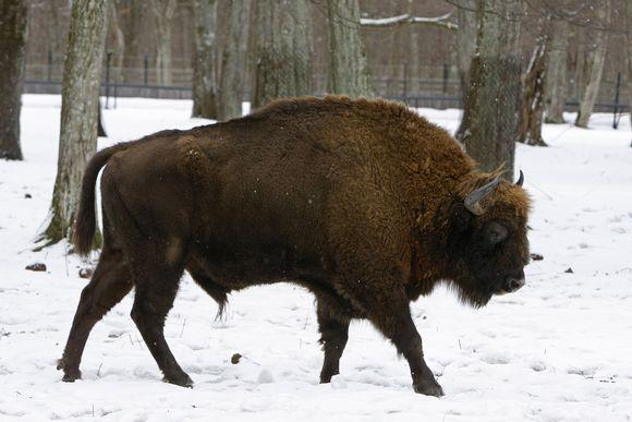 Eurooppalainen biisoni puolalaisessa eläintarhassa.