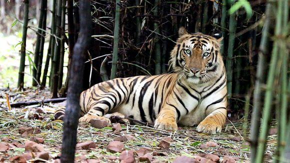 Tiikeri kanasllispuistossa Bhopalissa Intiassa.