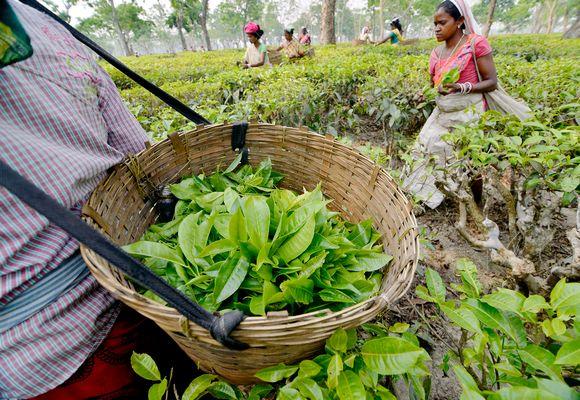 teenkerääjiä Intian Assamissa.