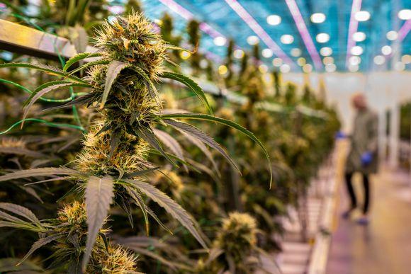 Kannabiskukkia Aurora Nordicilla Tanskassa