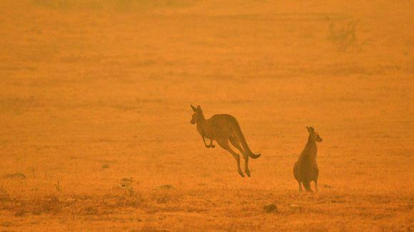 Kengurut pakenivat paloa Cooman lähistöllä Australiassa 4. tammikuuta.