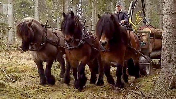 kolme hevosta vetää tukkeja