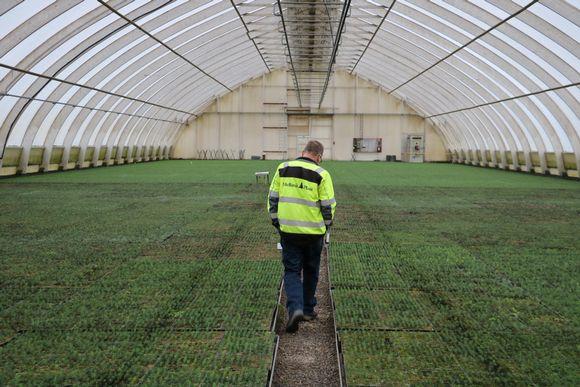 En man gul reflexväst går på en gång mellan tusentals granplantor i ett växthus.