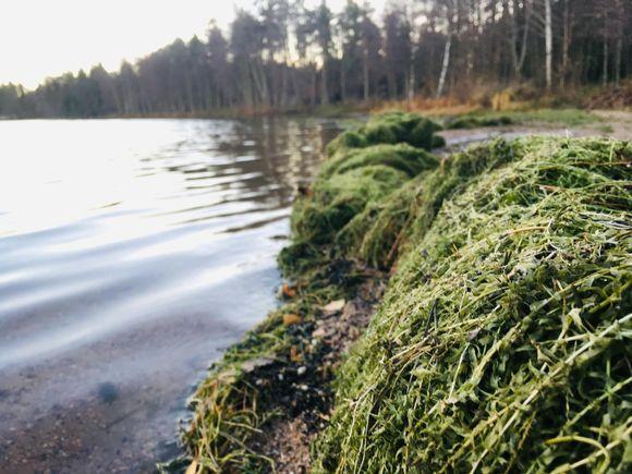 Högar med växten vattenpest på stranden till en sjö.