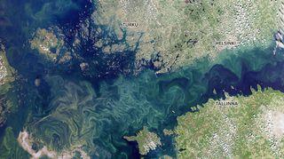 Satelliittikuva näyttää sinilevätilanteen 24.7.2019. Vaaleanvihreät alueet meressä ovat veteen sekoittunutta sinilevää.