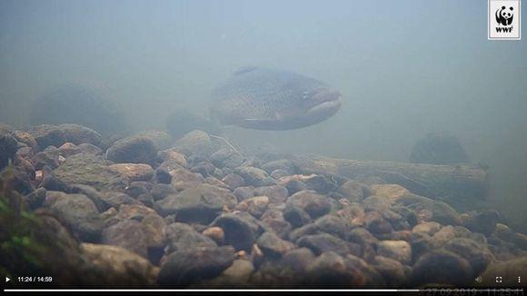 Taimen vedenalaisessa kamerakuvassa.
