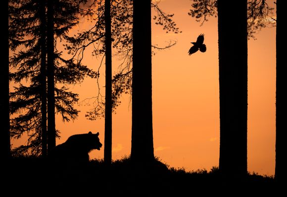 Silhouette of bear and raven wins Finnish nature photo prize