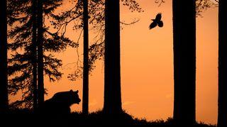 Karhu ja korppi metsässä.