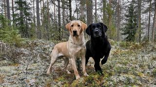 Kuvassa vaalea ja musta Labradorinnoutaja