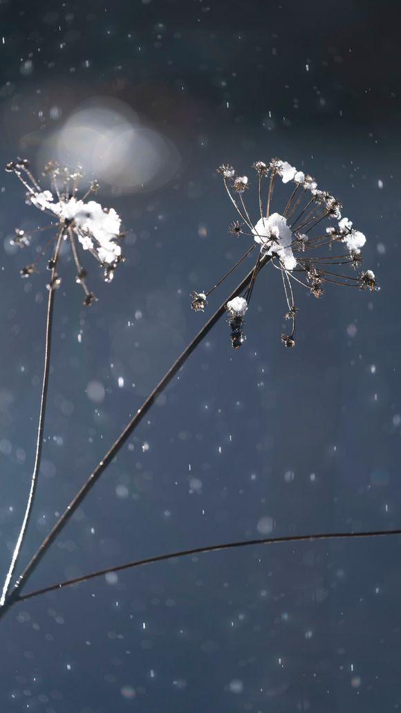 Vanha vuohenputki talventörröttäjänä räntäsateessa.