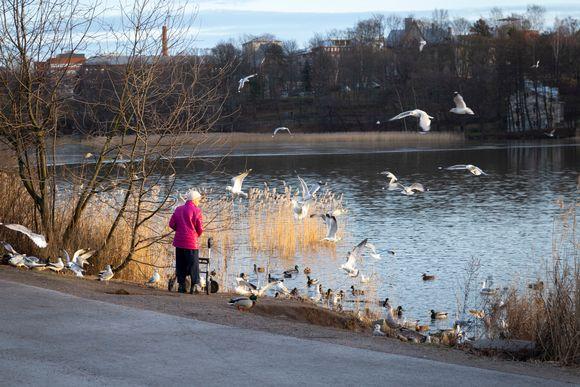 Mummo syöttää lintuja Töölönlahden rannassa