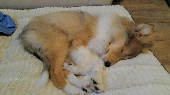 koiranpentu nukkuu viltillä