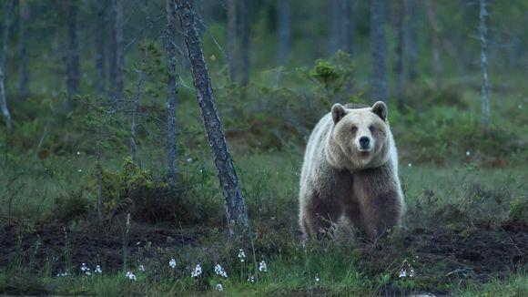En brunbjörn står i en mörk skog och tittar mot kameran.