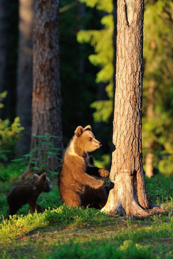 Två björnar i skogen.