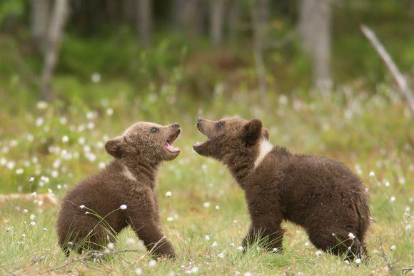 Två björnungar leker på en grön äng. Karhu, karhunpennut