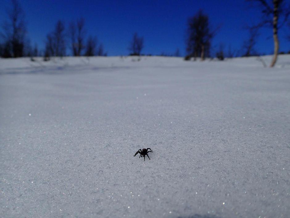 hämähäkki lumella