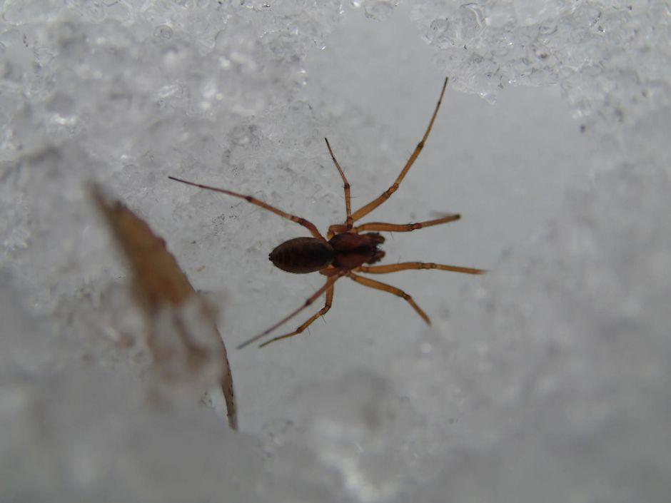 riippuhämähäkkilaji lumella