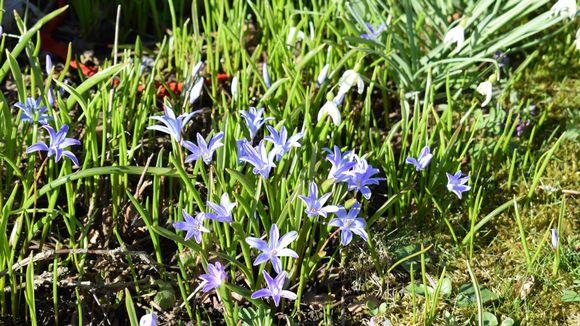 Kevätkukkia siirtolapuutarhassa.