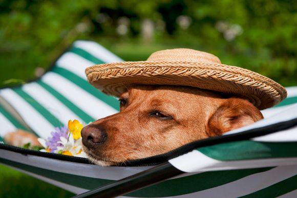 Hund med hatt ligger och vilar i solen.