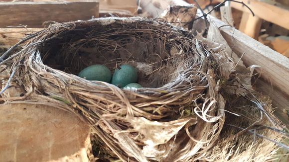Vihreitä linnunmunia pesässä