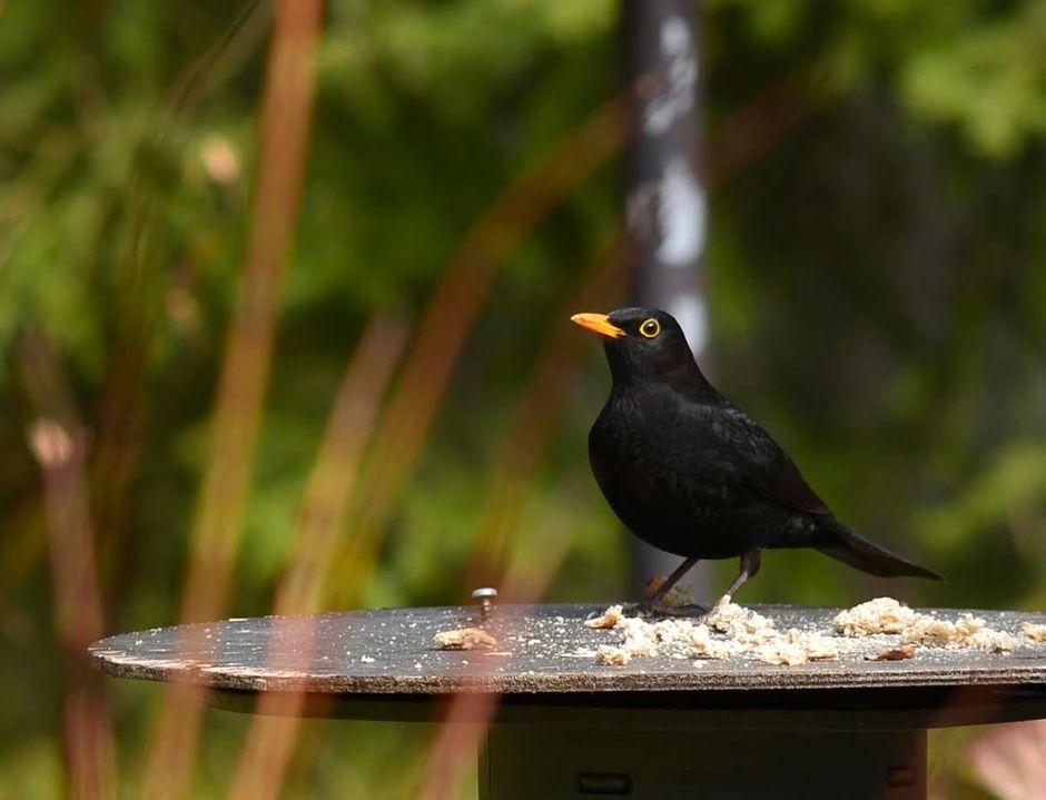 Mustarastas lintulaudalla.