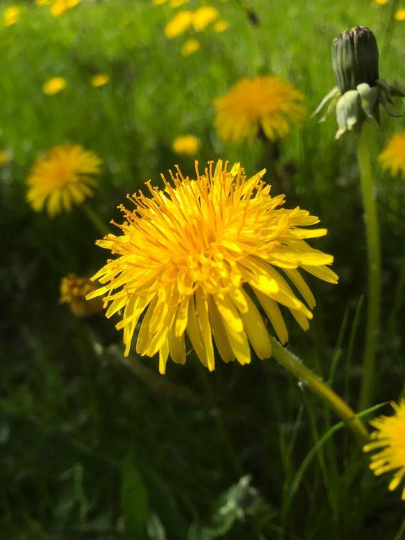 Lähikuva kukkivasta voikukasta