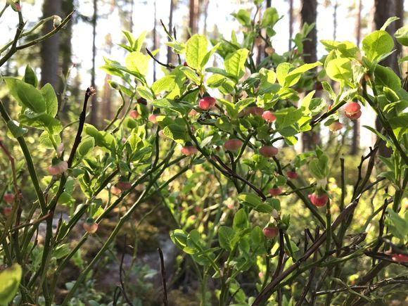 Mustikka kukkii Massin metsässä Ulvilassa toukokuun lopussa 2020.