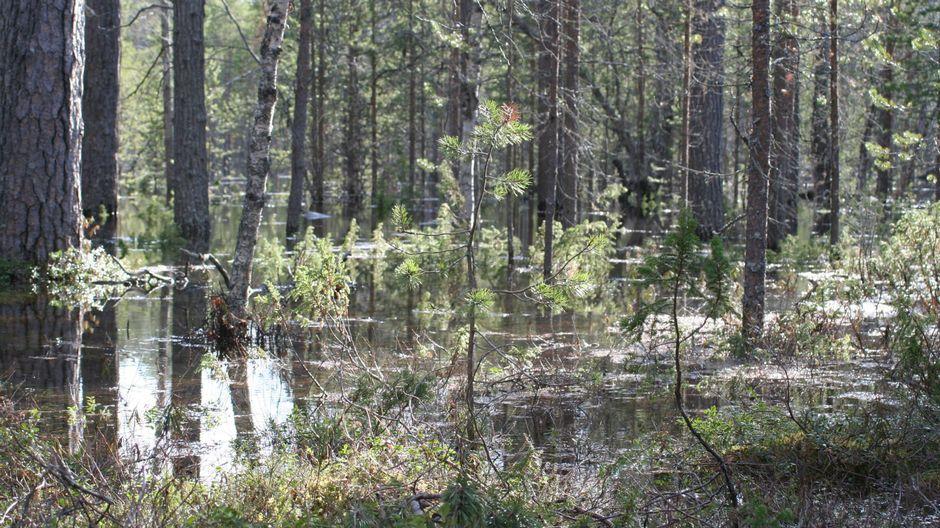 Juutuajoen tulva on levinnyt Haapaniemen eli Supenjargân metsään Inarissa.
