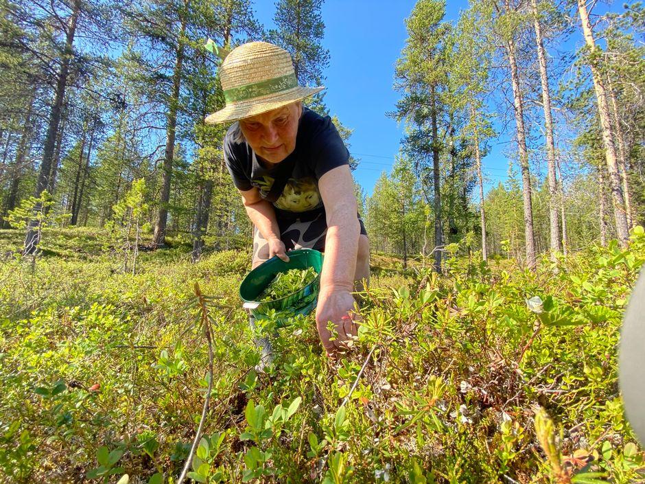 Ritva Kytölä poimii hillanlehtiä teejuomaksi.