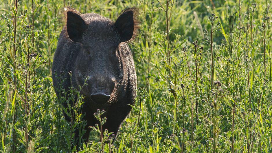 Vildsvin står i högt gräs.