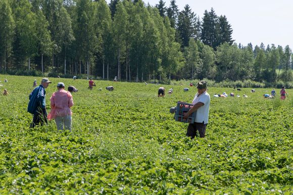 mansikanpoimijoita pellolla.