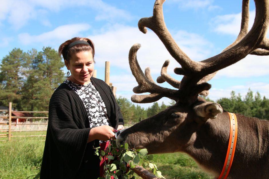 Anu Magga, Jaakkolan porotilan emäntä syöttää porolle koivunlehtiä.