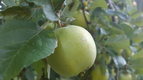 lähikuva omenasta puussa