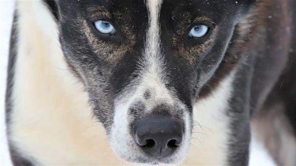 Rekikoira Vilkas ja siniset silmät