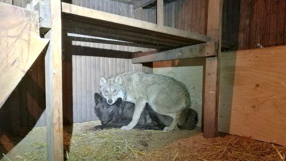 Orimattilasta löydetyt koirasudet kyyhöttävät nurkassa.