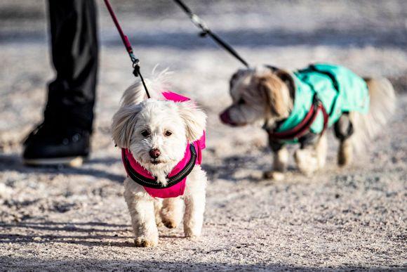 Kaksi coton-rotuista koiraa: 4-vuotias Lulu ja 12-vuotias Bella