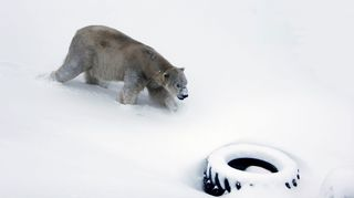 Видео: jääkarhu Nord Ranuan eläinpuiston aitauksessa