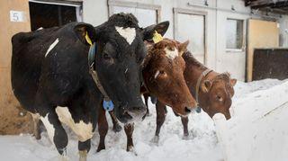 Lehmiä ulkona aitauksessa lumisateessa.