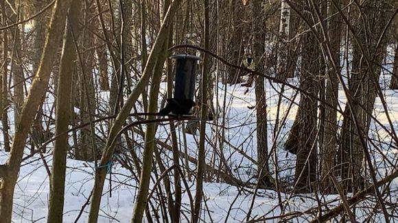 Mustarastas lintulaudalla