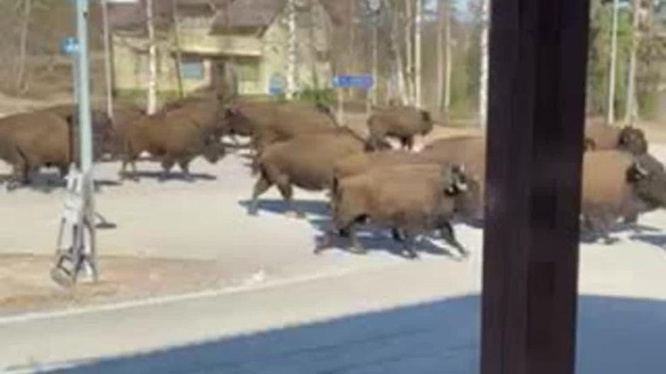 Видео: Biisonilauma keskellä keskustaa