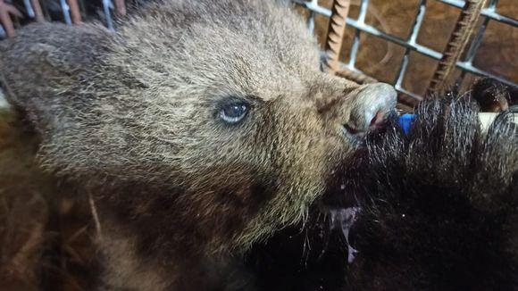 Kuhmon orpo karhunpentu Aina Kuusamon suurpetokeskuksessa.