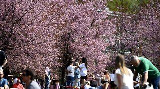 Ihmisiä Roihuvuoren kirsikkapuistossa.
