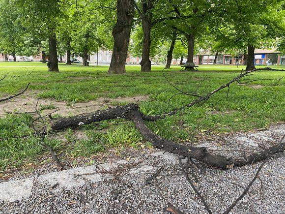 Myrskyn irrottama oksa Emil Aaltosen puistossa Tampereella
