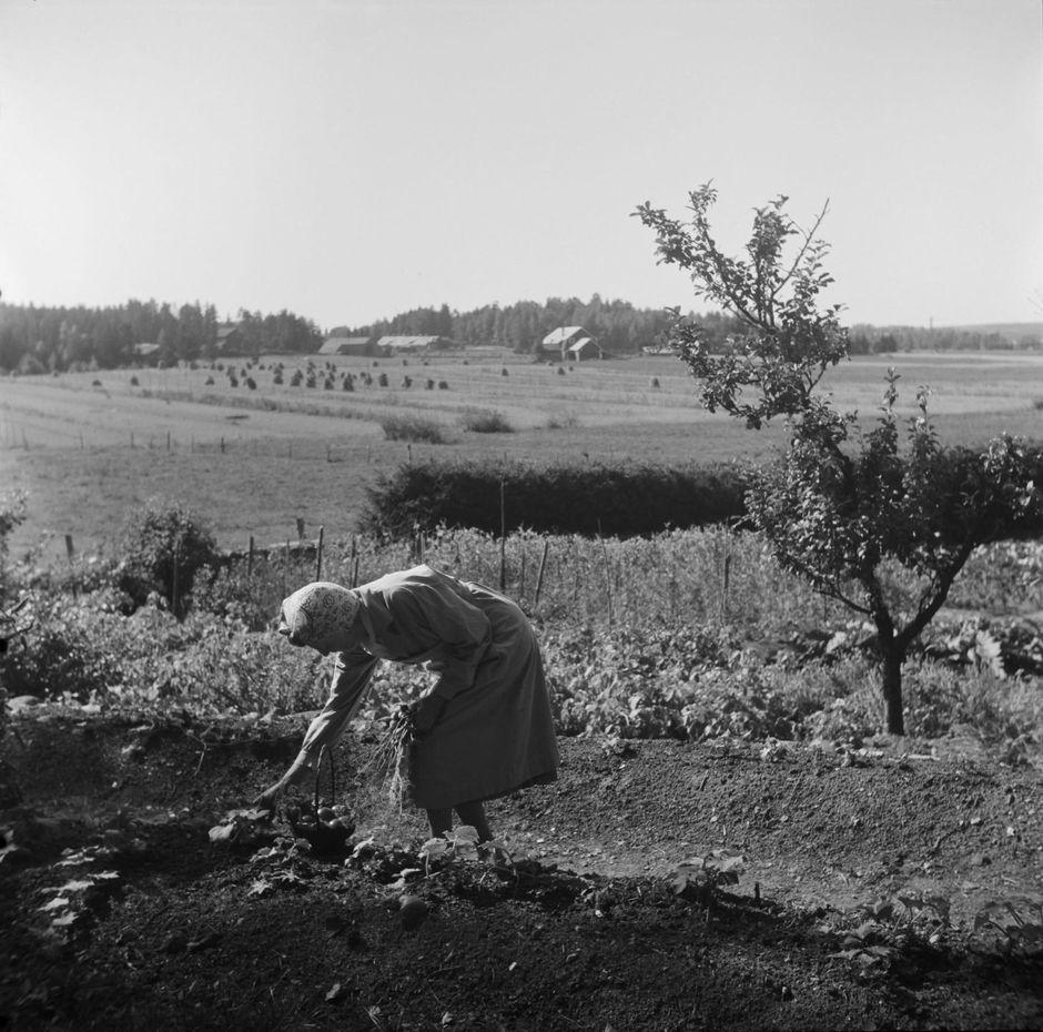 Aino Sibelius puutarhassa, 1940-luku