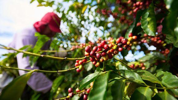 Työntekijä kerää kahvipapuja.