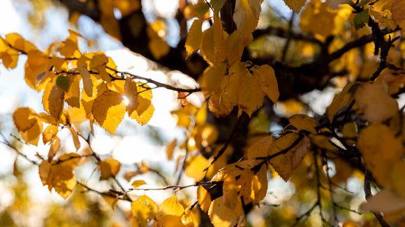 Keltaisia koivunlehtiä lähikuvassa, lehvästön läpi paistaa aurinko.