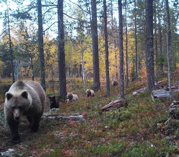 Viisi karhua marssii peräkkäin kohti kameraa ruskaisessa maastossa.